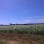 El Viejo (piantagione di canna da zucchero)