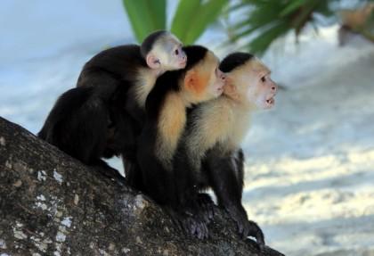 scimmie-capuccino-curiosità-dellas-costa-rica