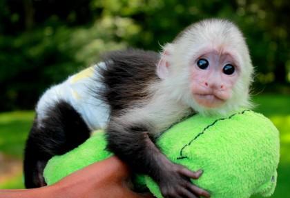 scimmie-della-costa-rica
