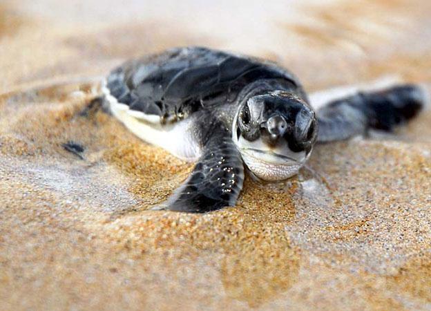 Playa grande e le tartarughe marine in costa rica for Tartarughe di mare domestiche
