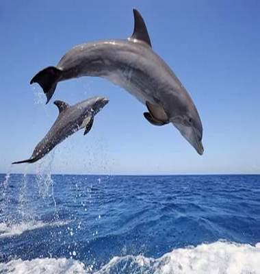 Delfini-saltanti