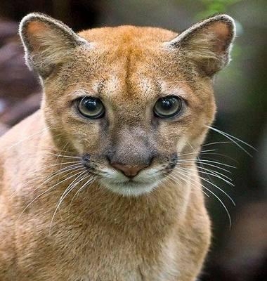 Puma-457