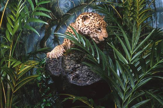 giaguaro.-costa-ricajpg