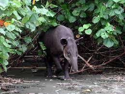 tapiro-corcovado